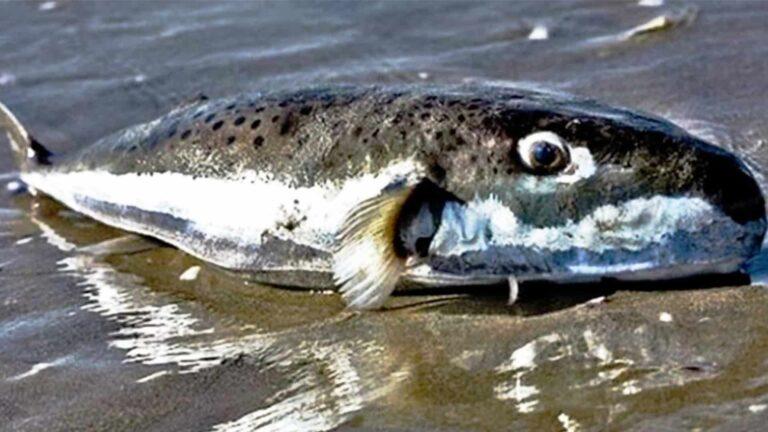 Algérie : Apparition d'un poisson toxique et mortel sur le littoral